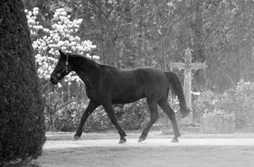 m-2011-04-10-d015.1.s/w.freilaufendes Pferd