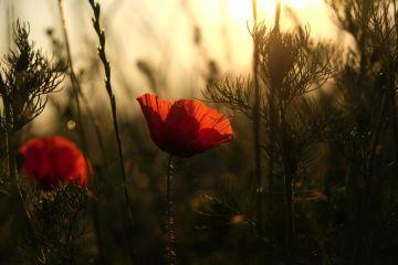 m-17-06-22-d062-Schorn-Blumen-Felder-Sonnenaufgang