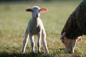 Lamm, Schaf, Ostern